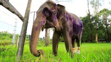 Closeup view of ill elephant — Stock Video