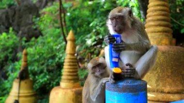 Monkey trying to eat suncream — Stock Video