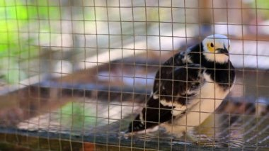 Asian Pied Starling — Stock Video
