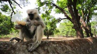 Black faced monkey eats popcorn — Stock Video
