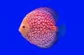 Pompadour Fish — Stock Photo