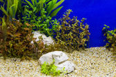 Plant in aquarium with fresh water — Stock Photo