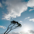 Wind swept tree on South west of France — Stock Photo #60640977