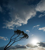 Wind swept tree on South west of France — Stock Photo