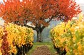 Colored fields-Vineyard — Zdjęcie stockowe