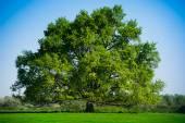 Summer Landscape-Beautiful lonely tree — Stock Photo