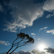 Wind swept tree on South west of France — Stock Photo #61174549