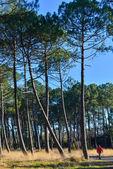Maritime pines — Stock Photo