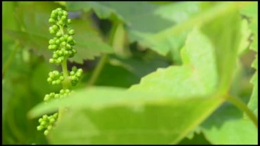 Vineyard-New Grape and Leaf Spring — Stock Video