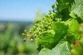 Young grape plant-Bordeaux vineyard — Stock Photo