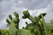 Prickly pear-African Cactus- Marrakesh, Morocco — Stock Photo