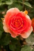 Brass Band Rose — Stock Photo