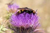 "The Wasp ""Scolia Hirta"" on Crete — Stock Photo"