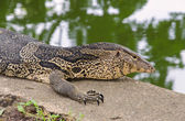 Closeup of monitor lizard Varanus — Stock Photo