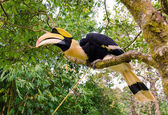 Great hornbill stand on the branch in forest — Stock Photo