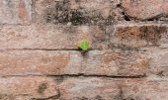 Planter arbre peu sur vieux mur de briques rouges — Photo