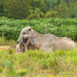 Cow and calf on a summer pasture — Stock Photo #63028373
