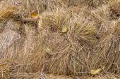 Pile of paddy bundle on the rice field after harvest. — Stock Photo