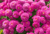 Beautiful of Chrysanthemum pink flowers in garden — Stock Photo