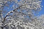 Snow covered branch — Стоковое фото