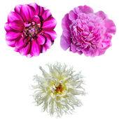 Set of three flowers isolated on white background — Stock Photo
