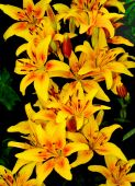 Yellow lilies with  rain drops — Stock Photo