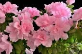 Pink azalea flowers in bloom — Stock Photo