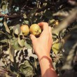 The hand of a young woman as she is picking apples — Stock Photo #51954803