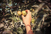 The hand of a young woman as she is picking apples — Stock Photo