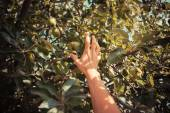 The hand of a young woman as she is picking apples — Foto de Stock
