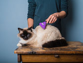 Woman grooming a birman cat — Stock Photo