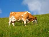 Vache pâturage — Photo