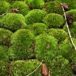 Moss background — Stock Photo #68704433