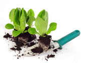 Sazenice salátu — Stock fotografie