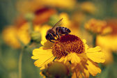Helenium flowers with a bee — Stock Photo