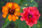 The Zinnia are a multi-colored flower — Stok fotoğraf