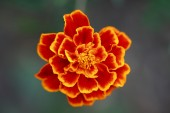 Macro of Tagetes flower — Stock Photo