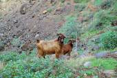 Stray goats — Stok fotoğraf