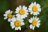 Matricaria chamomilla- the Chamomile has a strong odor — Stock Photo