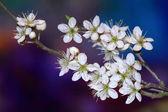 Prunus spinosa flowers — Stock Photo