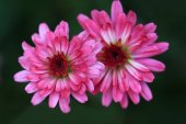 Red daisies — Stock Photo