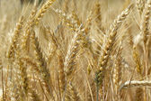 Yellow grain ready for harvest — Stock Photo