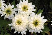 Chrysanthemum maximum — Stock Photo