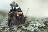 Red admiral butterfly vanessa atalanta — Foto Stock