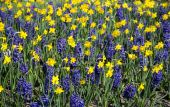 Ornamental garden with daffodils and hyacinths — Stock Photo