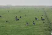 Geese in grassy field — Stock Photo