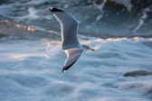 Seagull lifting off at sea — Stock Photo