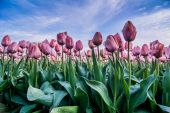 Field of tulips with a cloudy sky in HDR — Zdjęcie stockowe
