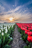 Field of tulips with a cloudy sky in HDR — Stock Photo