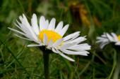Common white daisy  — Stock Photo